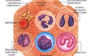Влияние функций лейкоцитов на кровь человека
