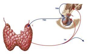 Таблица норм гормона ТТГ у женщин по возрасту