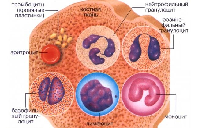 Защитные клетки организма производит костный мозг