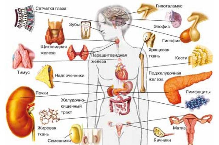 Места выработки гормонов в организме человека