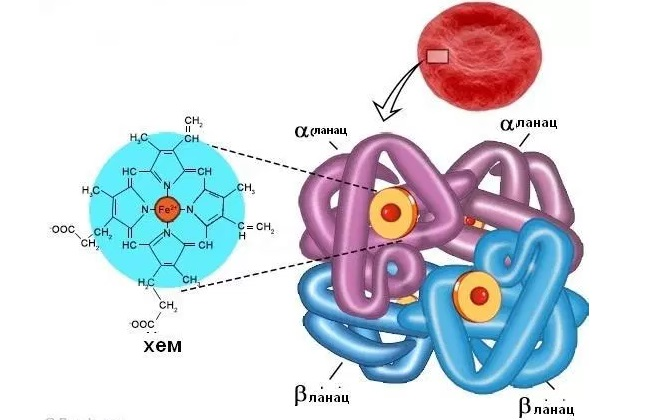 Схематичный функционал гемоглобина