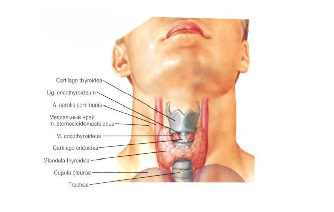 Составляющая мужской щитовидки