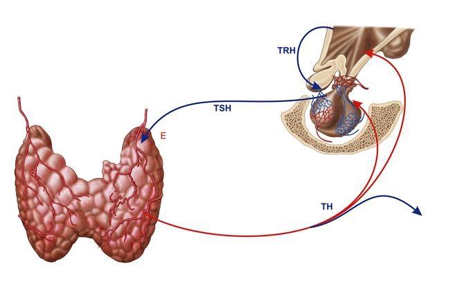 Схема выработки гормона в женском организме
