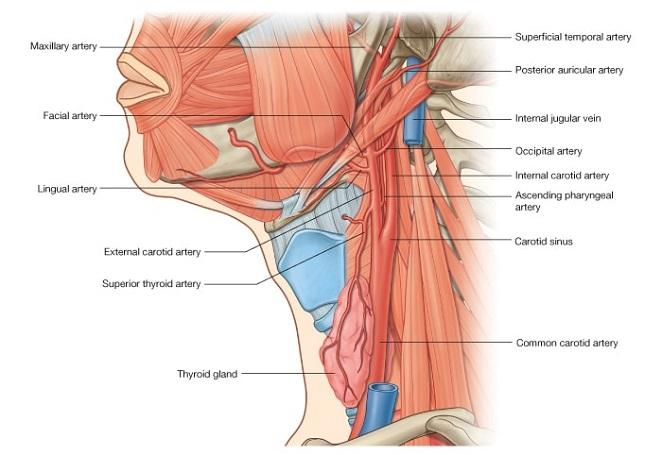 Узлы щитовидной железы человека