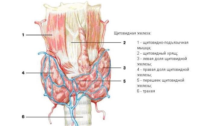 Значение повышения гормона щитовидной железы