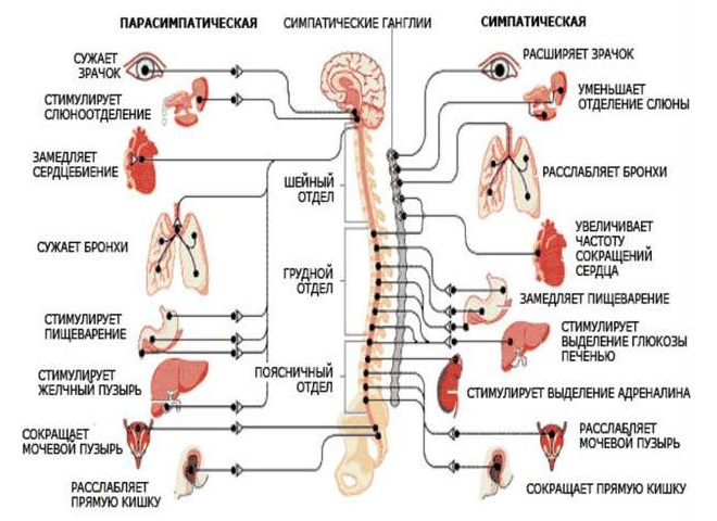 Симптоматика сосудистой дистонии