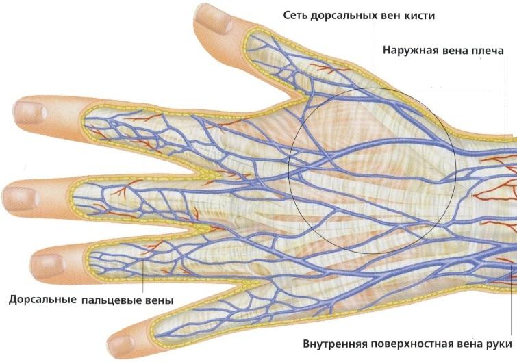 Составляющие венозного потока руки