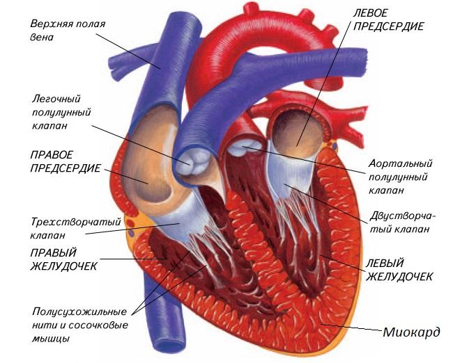 Строение человеческого сердца
