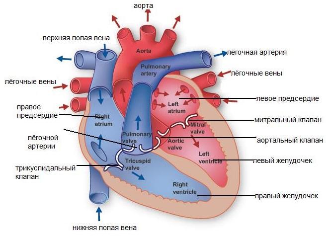 Схема работы сердца человека