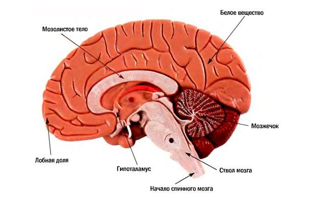 Головной мозг здорового человека без дефектов