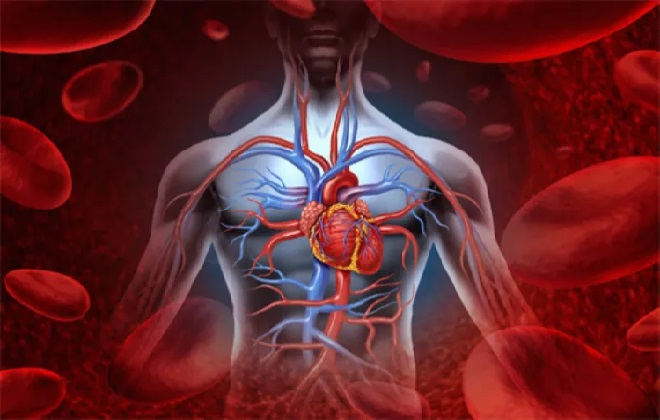 Круговая система движения крови в теле человека