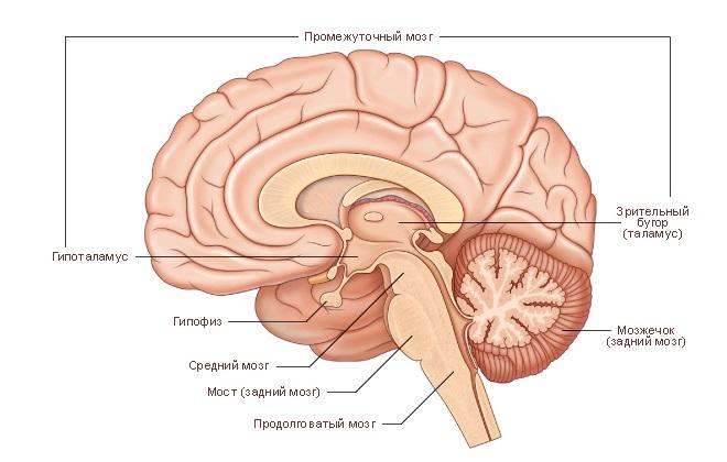 Строение головного мозга в разрезе