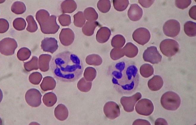 Клетки крови под микроскопом