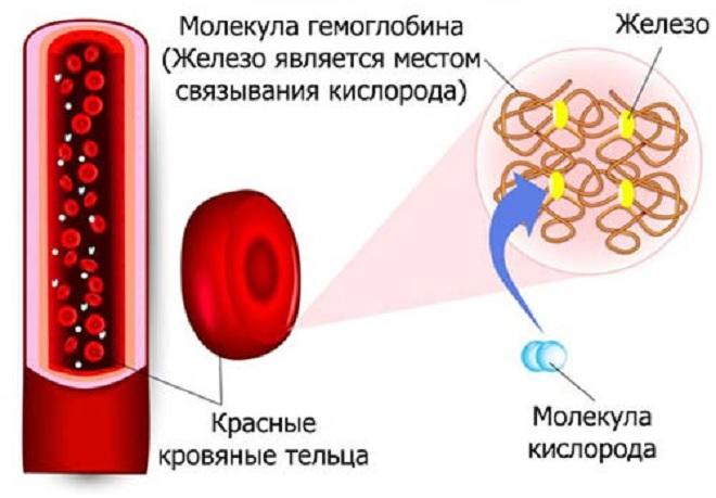 Функция гемоглобина