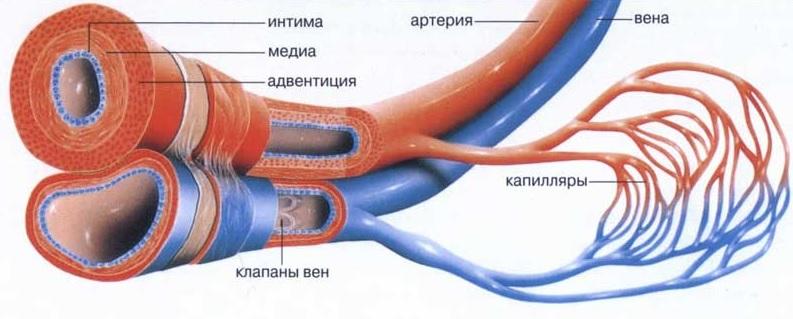 Сосуды и капилляры